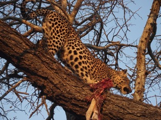 Leopard with catch Kruger